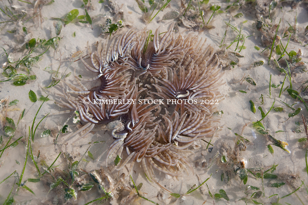 A beautiful anemone stretches in the shallows at low tide at Town Beach Broome.