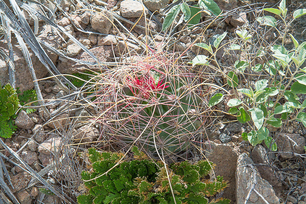 This beautiful, long and curve-spined cactus is a small member of the barrel cactus family and is primarily found in the central Chihuahuan Desert near the Rio Grande. Barely reaching a height of twelve inches, this attractive and colorful cactus will produce large three-inch yellow flowers in the springtime. This three-inch beauty was found and photographed below the Chisos Mountains in Brewster County, Texas.