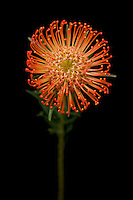 Leucospernum, also known as the Pincushion Protea flower. Naive to South Africa, it is the flower of an evergreen shrub.