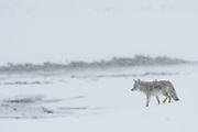 Coyote (Canis latrans), Yellowstone National Park, Wyoming