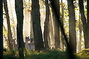 Group of Fallow Deer (Dama dama) does standing in backlit forest scene