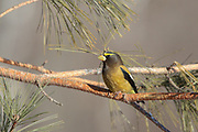 Male Evening grosbeak (Coccothraustes vespertinus), perched.