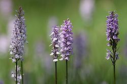Groepje gevlekte orchissen; Heath Spotted Orchid