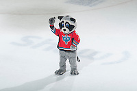 KELOWNA, CANADA - JANUARY 23: Rocky Racoon, the mascot of the Kelowna Rockets dances on the ice during intermission against the Everett Silvertips on January 23, 2015 at Prospera Place in Kelowna, British Columbia, Canada.  (Photo by Marissa Baecker/Shoot the Breeze)  *** Local Caption *** Rocky Racoon; mascot;