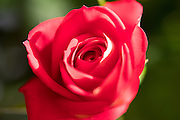 Photo red rose flower petals, matted print, wall art, macro, close up. California nature, garden, photography. Santa Monica, Westside, Venice, Los Angeles, Fine art photography limited edition.