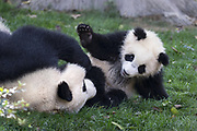 Giant Panda<br /> Ailuropoda melanoleuca<br /> Mother playing with her 6-8 month-old cub<br /> Chengdu Research Base of Giant Panda Breeding, Chengdu, China<br /> *captive