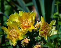 Yellow Prickly Pear Flowers. Image taken with a Nikon Df camera and 80-400 mm VR II lens.