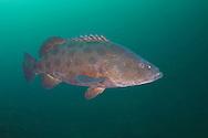Potato bass fish- Mérou patate (Epinephelus tukula), South Africa.