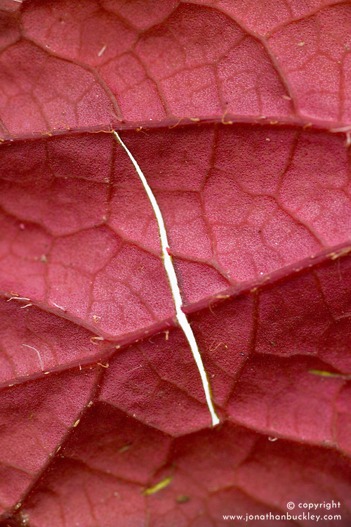 Taking leaf cuttings from a begonia using the 'Leaf Slashing' method<br /> Detail of slits