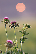 Silybum marianum - Milk Thistle