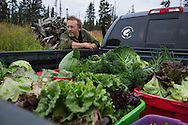 LIVING OFF THE GRID<br /> Paul Castellani and the organic vegatable harvest.<br /> Anchor Point, Alaska, USA
