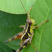 Grasshopper - Caelifera - Orthoptera