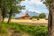 It is a lucky day when a herd of bison graze in front to the T.A. Moulton Barn in Grand Teton National Park.