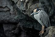 Black-crowned night heron (Nycticorax nycticorax)<br /> Puerto Egas<br /> Santiago Island<br /> Galapagos<br /> Ecuador, South America
