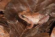 Spring Peeper (Pseudacris crucifer)<br /> CAPTIVE<br /> The Orianne Indigo Snake Preserve<br /> Telfair County, Georgia<br /> USA<br /> HABITAT & RANGE: Leaf litter and low shrubs of Eastern USA