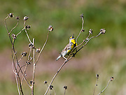 A Western Meadowlark sings in the Crescent Lake NWR, Sand Hills, Nebraska