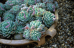Echeveria secunda var. glauca in a shallow container