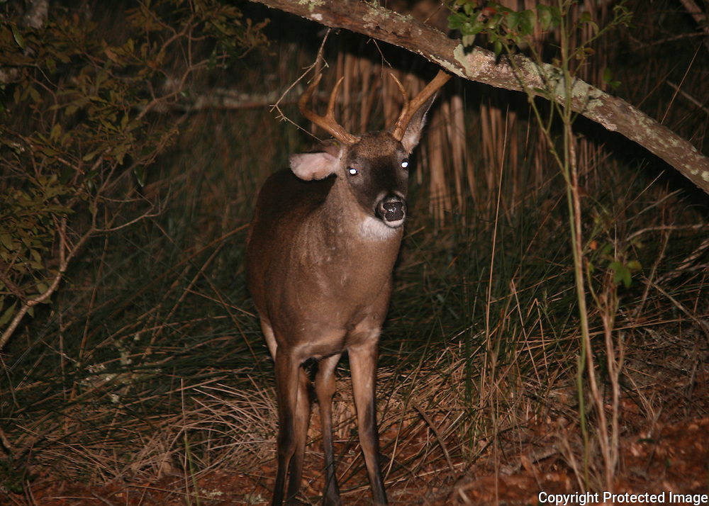 A Jekyll Island white tail buck wandering out of the palmetto swamp to eat acorns.