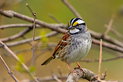 Male White-throated sparrow in spring breeding plumage.