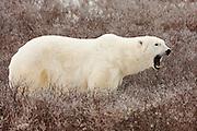 CANADA, Churchill (Hudson Bay).Polar bear (Ursus maritimus)
