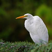 Great Egret in tree