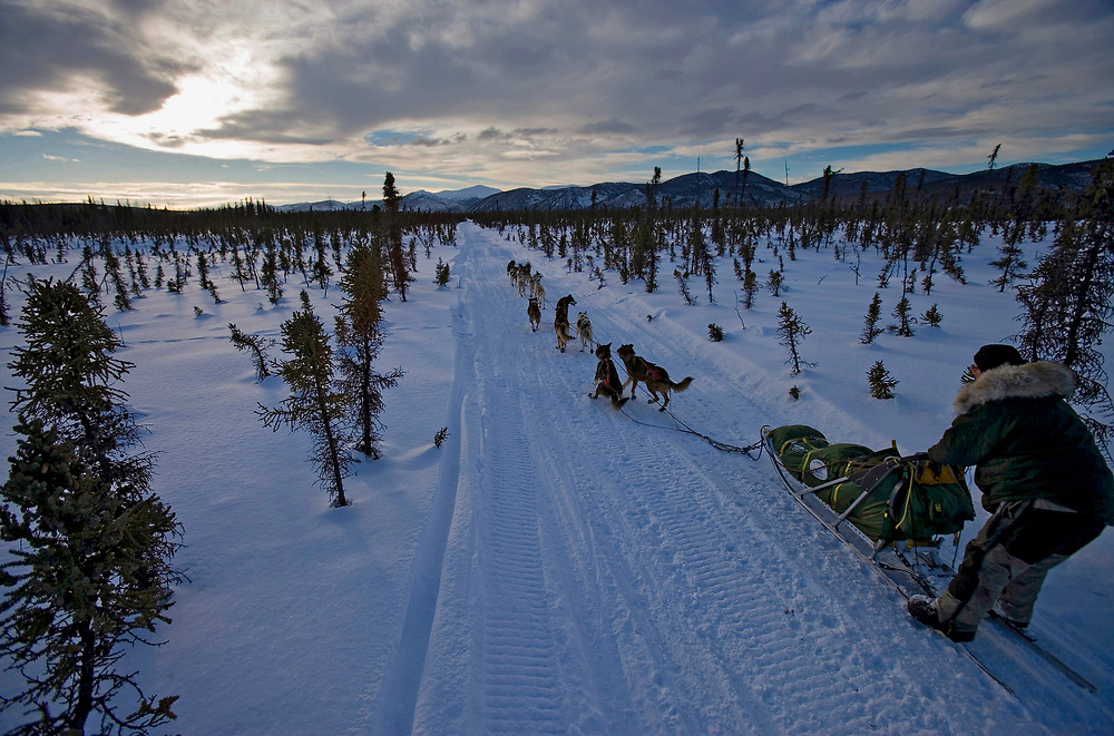 USA, Alaska, Ophir, Musher races dog team through spruce forest just west of checkpoint in 2005 Iditarod sled dog race at sunset in winter evening