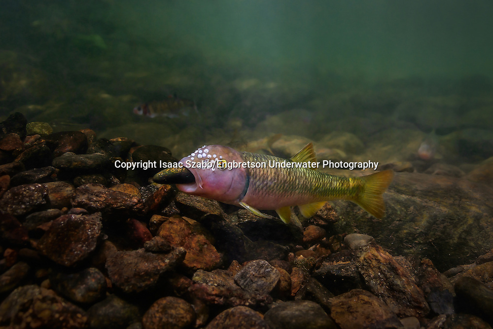 River Chub (building a rock mound for spawning)<br /> <br /> Isaac Szabo/Engbretson Underwater Photography