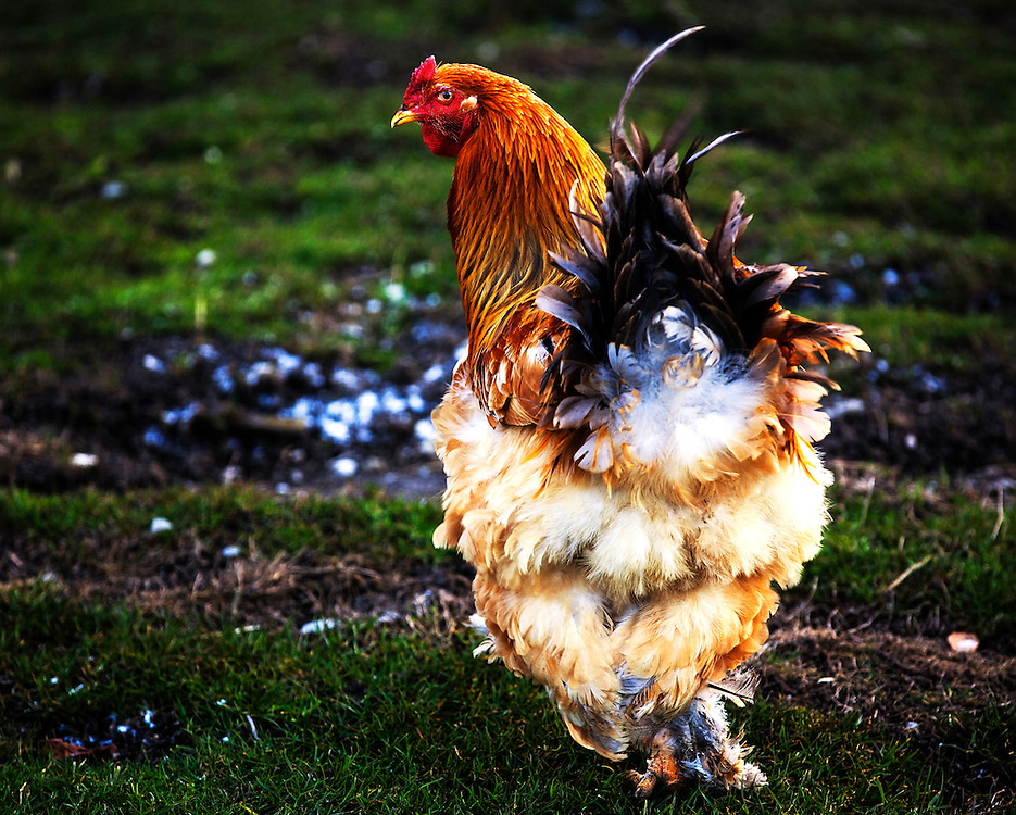 A hen shakes her tail feathers in the commune of Dingy-Saint-Clair, RhÙne-Alpes region, Haute-Savoie department. Near Annecy, France.