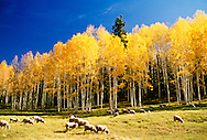 Flock of sheep in autumn, aspen trees, southwest Colorado