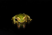 Fleischmann's Glass Frog(Hyalinobatrachium fleischmanni) CAPTIVE<br /> Choc&oacute; Region of northwest Ecuador on Colombian Border<br /> ECUADOR. South America<br /> Nocturnal and Arboreal.<br /> RANGE: Belize, Colombia, Costa Rica, Ecuador, El Salvador, Guatemala, Guyana, Honduras, Mexico, Nicaragua, Panama, Suriname, Venezuela