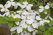 Flowering Dogwood; Cornus florida; PA, Philadelphia