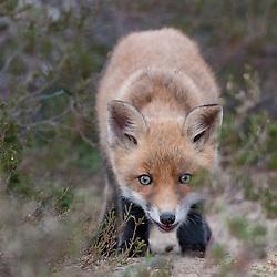 Jonge vos tussen heidestruiken; Young fox in heathland