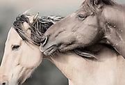 KIMI MEANS 'SECRET' IN NAVAJO.  THE NAME SECRET SPOKE TO ME FOR THIS IMAGE BECAUSE OF THE INTIMATE MOMENT SHARED BETWEEN THESE TWO WILD HORSES.  AS I SEE IT, ONE MUSTANG IS WHISPERING THE UNSEEN AND UNHEARD TRUTHS ONLY KNOWN AND SHARED BY THE HERD. THEIR MAGIC. THEIR SECRET. ONLY KNOWN TO THEM.<br /> <br /> KIMI IS ONE OF MY ALL TIME PERSONAL FAVORITE IMAGES BECAUSE OF THE MAGICAL QUALITIES AND MOMENT WHICH IS SO PRECISELY CAPTURED HERE. DESPITE THAT I WAS FREEZING, EXHAUSTED AND READY TO RETIRE FROM A LONG DAY'S SHOOT,  I WAS KEENLY AWARE OF THE &lsquo;MAGIC&rsquo; THAT WAS ABOUT TO HAPPEN ON TOP OF THE SMALL MOUNTAIN. SOME PHOTOGRAPHERS KNOW WHEN SOMETHING &lsquo;SPECIAL&rsquo; IS GOING TO HAPPEN. AND I HAD THAT FEELING. SO I WAITED&hellip; THE SUN WAS SETTING AND THE WINDS WERE STRONG, COLD AND CONSTANTLY BLOWING DIRT IN MY EYES, MOUTH, AND NOSE.  THEN THE MAGIC HAPPENED, THE MOST PRECIOUS, INTIMATE, YET SUBTLE CONNECTION BETWEEN THESE TWO HORSES HAPPENED. IT WAS SO SUBTLE THAT MOST WOULD MISS IT. JUST LIKE ONE WOULD MISS AN EXCHANGE OF A SECRET OR WHISPER.<br /> <br /> IRONICALLY, THIS IMAGE LOOKS AS IF IT WAS PRODUCED IN A STUDIO - WITH ALL THE VARIABLES THAT GO INTO MAKING AN AMAZING SHOT THERE IS USUALLY A DEGREE OF CONTROL TO THE &lsquo;SET&rsquo;.  THE LIGHT, BACKGROUND, WIND, AND 'POSE' OF THESE TWO STUNNING  WILD HORSES WERE ALL ALIGNED FOR A PERFECT IMAGE.  THE  TYPE OF THINGS THAT I WAIT FOR AND AM LUCKY TO EXPERIENCE ONCE IN A BLUE MOON WHEN PHOTOGRAPHING OUT IN THE FIELD. THE TRUE BEAUTY OF  WHAT MAKES THIS IMAGE SO SPECIAL  TO ME IS THAT THERE WAS ABSOLUTELY NOTHING CONTROLLING THE SUBTLETIES AND INTRINSICAL NATURE OF SHOT -  JUST GOD&rsquo;S BEAUTIFUL CREATIONS AND NATURALLY OCCURRING &lsquo;LIFE.&rsquo;<br /> <br /> ~ AND JUST MAYBE, THAT&rsquo;S THE TRUTH IN THIS SECRET