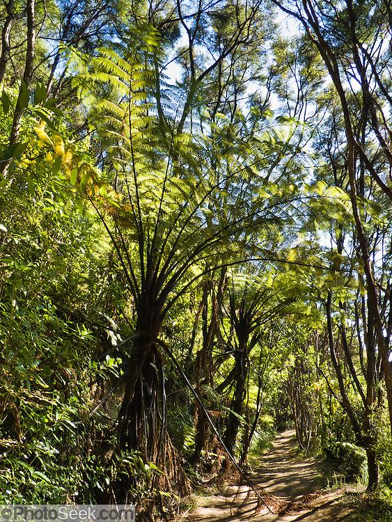Tree ferns, Abel Tasman National Park, South Island, New Zealand.