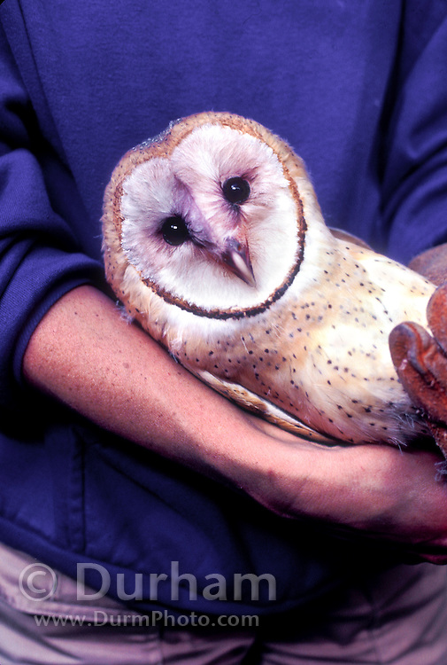 A wildlife rehabilitator holds an injured wild barn owl (Tyto alba) rescued from an industrial building where it was roosting. The bird was captured for rehabilitation. Portland, Oregon.
