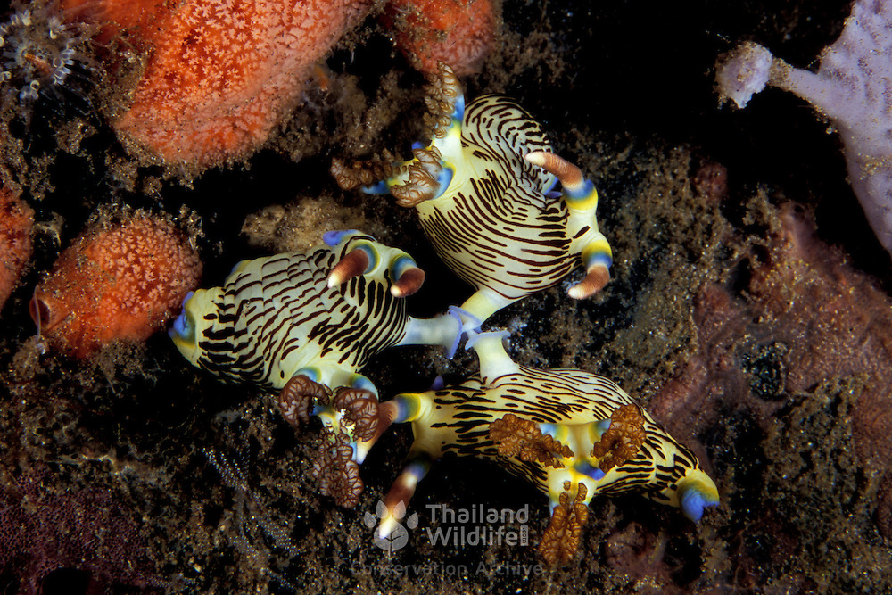 Rare photograph of three Nembrotha lineolata nudibranchs mating together. Dumaguette, philippines..