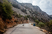 "A little Cretan goat is getting pictured on a mountain road close to Palaiochora which is a small town in Chania regional unit on the island of Crete, Greece. The Kri-kri (also called the ""Cretan goat"", ""Cretan Ibex,"" or ""Agrimi"") was previously considered a subspecies of wild goat but has recently been identified as a feral variety of the domestic goat. The Kri-kri is now found only on the island of Crete, Greece and three small islands just offshore."