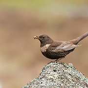 Ring Ouzels