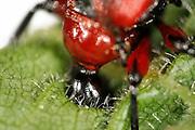 [captive] Hazel Leaf-roller Weevil (Apoderus coryli) Westensee, Germany (sequence 5/9) | Der Haselblattroller (Apoderus coryli) aus der Familie der Dickkopfrüssler (Attelabidae) hat für einen Rüsselkäfer einen erstaunlich wenig verlängerten Kopf. Dieses Weibchen muss daher seinen Kopf tief in der Blattrolle versenken, um ein ausreichendes Loch für die Eiablage zu beißen.