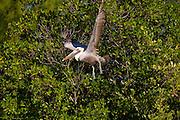 pelican ,in, flight , Fla.,estuary.