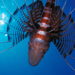 Hawaiian lionfish flying overhead with sunburst.
