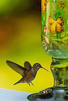 Hummingbird at a backyard bird feeder, Littleton, Colorado USA.