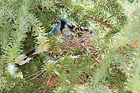 I was visiting a friends house today and discovered that they have a pair of Bluejays nesting in their backyard.  I immediately sat down to watch and take some pictures.  It was very cool to watch! There was always one bird on the nest while the other was off hunting.  Every so often the hunter would return to share its meal with the nesting bird...©2009, Sean Phillips.http://www.Sean-Phillips.com