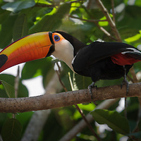Ramphastos toco, Brazil