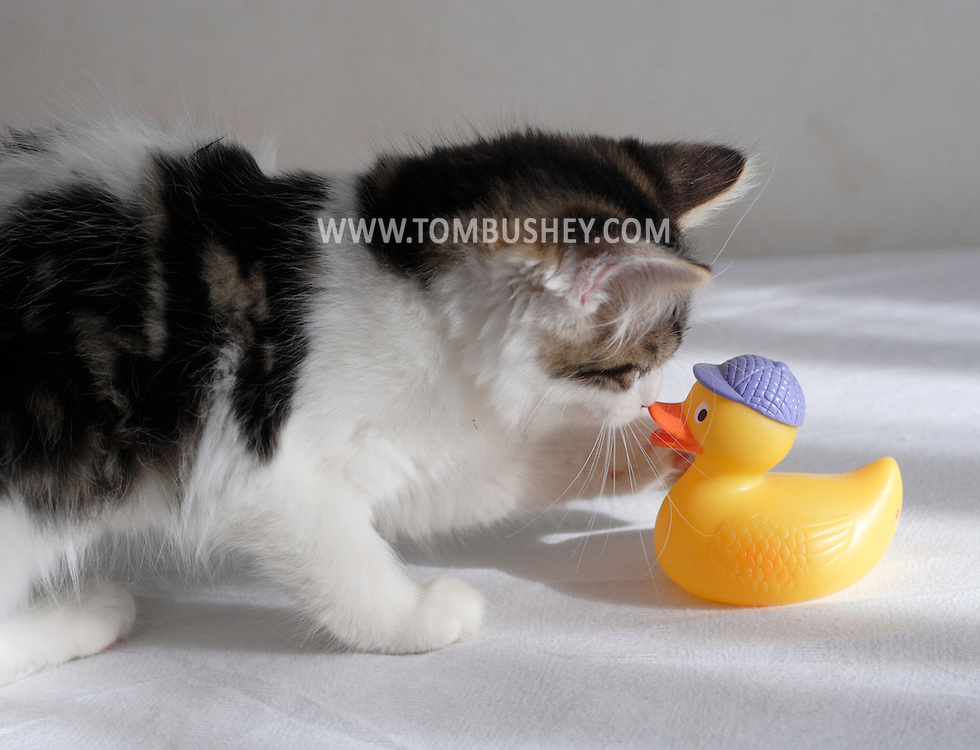 Middletown, N.Y. - A kitten plays with a  yellow rubber ducky on a child's bed on Oct. 31, 2006.&amp;#xA;<br />