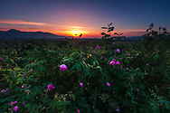 Blossom Damask roses in Rose Valley, Bulgaria