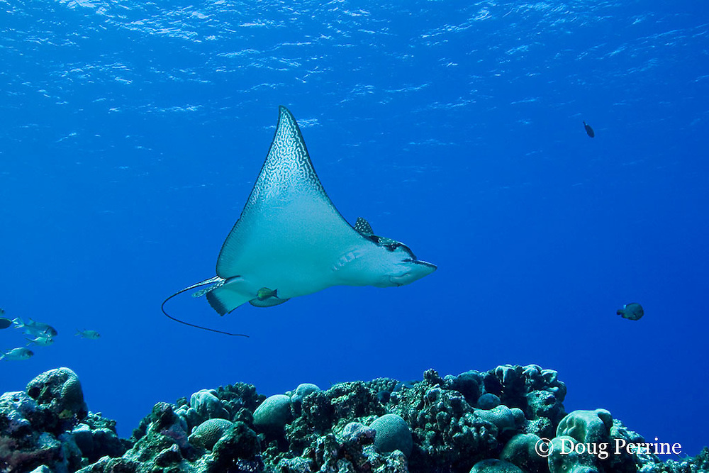 schooling spotted eagle ray, Aetobatus narinari, Ice Cream bommie, Saipan, Commonwealth of Northern Mariana Islands, Micronesia ( Western Pacific Ocean )