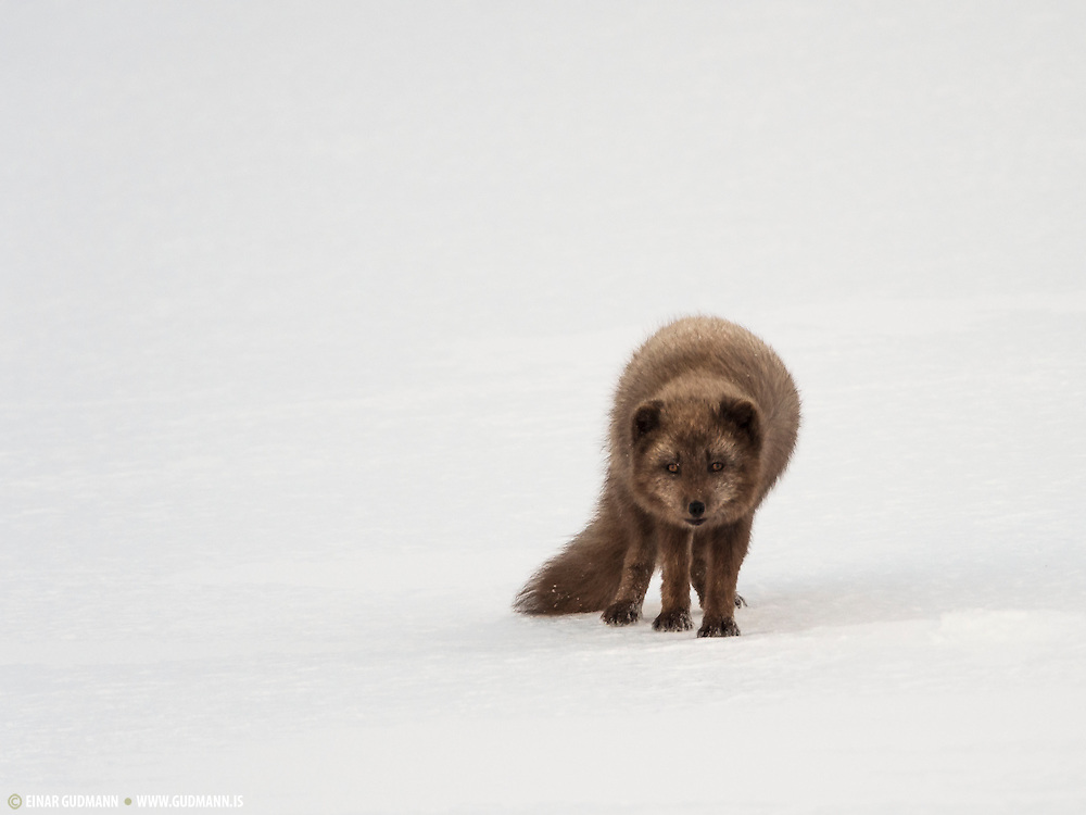 Wild Arctic fox in Iceland. Winter at Hornstrandir. This is a femaile arctic fox.