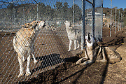 Throughout any day, the contagious howls start at one end of Lockwood Animal Rescue Center and reverberate to the other.