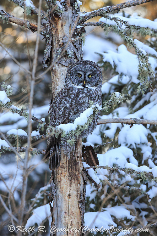 Great Gray owl perched in winter boreal habitat